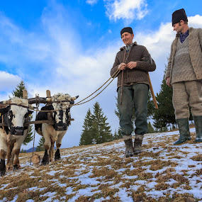 Traditional forestry worker by George Marcu - People Professional People ( bulls, worker, forestry worker, romania, bucovina,  )