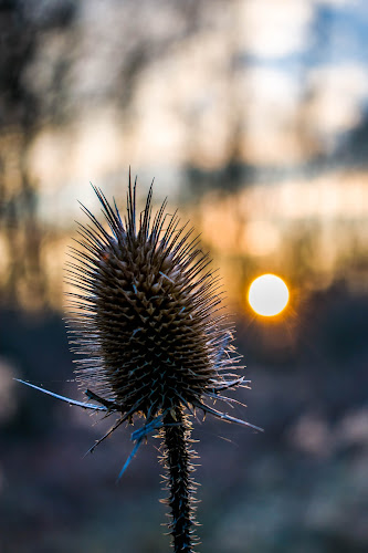 Spikes by Matija Šimunić - Nature Up Close Other plants ( plant, sunset, forest, bokeh, close up )