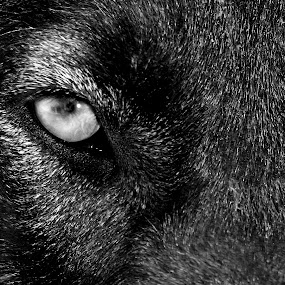 Soul House by Vanessa Latrimurti - Animals - Dogs Portraits ( canine, intense, dog, black, mammal, eye )