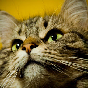 by H. Ava-Lyn Smith - Animals - Cats Portraits ( cat, long-haired, maine coon )