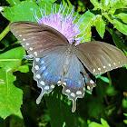 Spicebush swallowtail (female)