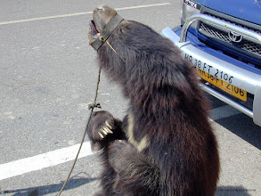 Photo: International Animal Rescue  helping to rescue dancing bears that have been cruelly exploited