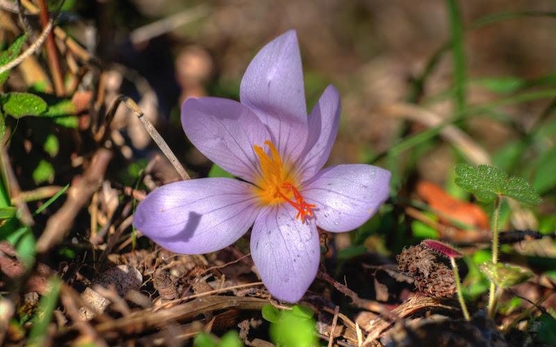 Viola Crocus di utente cancellato