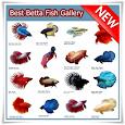 Best Betta Fish Gallery