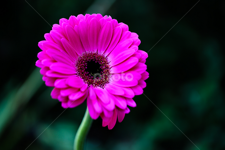 Gerbera by Zinovi Seniak - Nature Up Close Flowers - 2011-2013 ( flowers, gerbera )