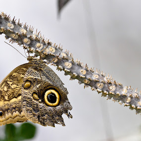 Not so colorful yet beautiful.. by Anand Kannan - Animals Insects & Spiders ( pwcinsects&spiders )