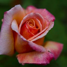 Morning Dew by Chris Seaton - Flowers Flower Buds ( pink, dew, flora, rose, garden,  )
