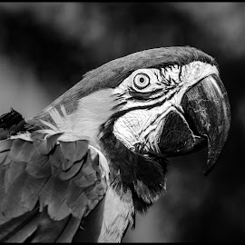 Blue and Gold Macaw by Dave Lipchen - Black & White Animals ( blue and gold macaw )