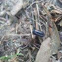 Rollie Pollie/Pill Bug