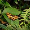 Symbrenthia lilaea 散紋盛蛺蝶
