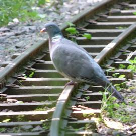 by Nick Parker - Transportation Railway Tracks ( pigeon,  )