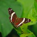 Mariposa (Banded peacock)
