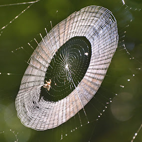 Orb-builder by Teresa Daines - Nature Up Close Webs ( nature, web, spider, , #GARYFONGDRAMATICLIGHT, #WTFBOBDAVIS )