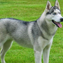 Husky HD Pictures Jigsaw icon