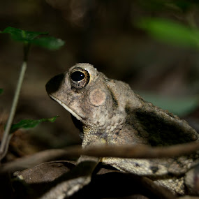 Little Rock Froggy by Jeri Curley - Animals Other ( frog, arkansas wildlife, amphibian )