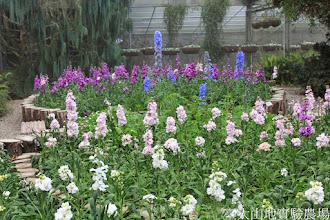 Photo: 拍攝地點: 梅峰-溫帶花卉區 拍攝植物: 紫羅蘭 大飛燕草 拍攝日期: 2015_02_09_FY