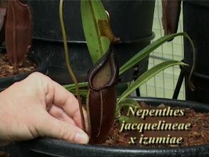 Photo: N. jacquelineae x izumiae. Video image: S. Hartmeyer.