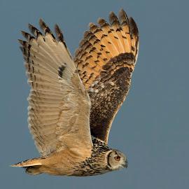 India eagle owl by Suraj Ramamurthy - Animals Birds ( #nannaj, #indianeagle, #owl, nikkor500mm, #nikond4, #rock, #sholapur, #grasslands )