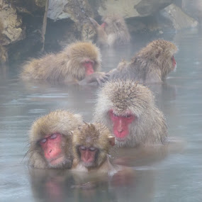 Jigokudani monkey park, Nagano, Japan by Allanah Faherty - Animals Other Mammals ( japan, monkeys, onsen, nagano, animal, monkey )