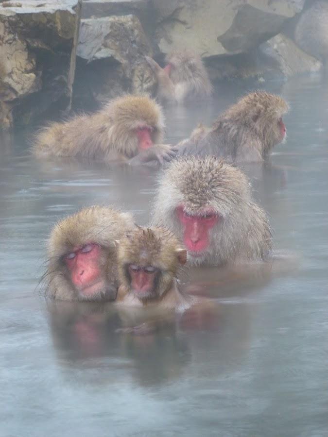 Jigokudani monkey park, Nagano, Japan by Allanah Faherty - Animals Other Mammals ( japan, monkeys, onsen, nagano, animal, monkey )
