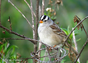 Photo: White-crowned Sparrow Dairy Mart - 4-23-16 Sonja Beeve