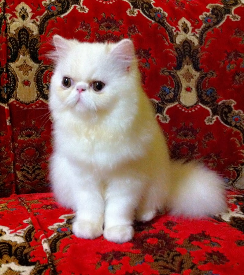 My first persian pedgree by Meino Rinaldi - Animals - Cats Kittens