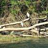egrets and cormorants