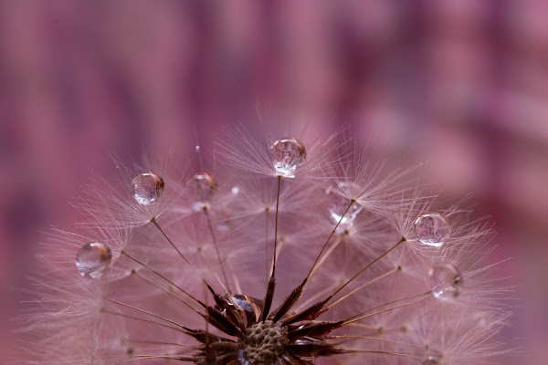 Dandelion  di adimar