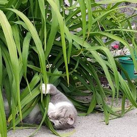 Shieva by Ingrid Bjork - Animals - Cats Playing ( cats )