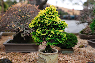 Photo: Spirited Garden has plenty of bonsai like this.