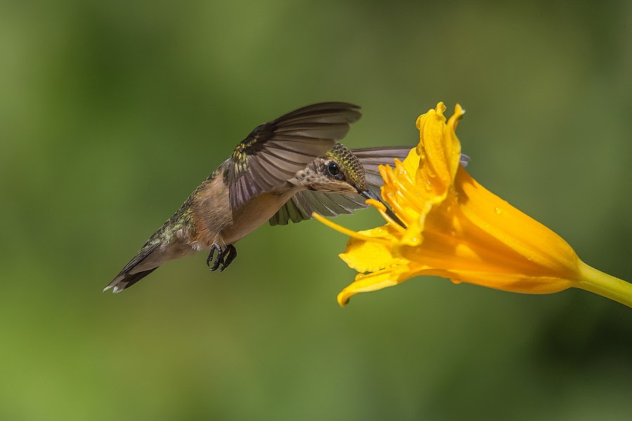 Peek A Boo by Roy Walter - Animals Birds ( flight, hummingbird, wildlife, garden, animal )