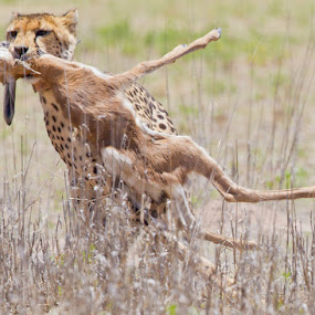Easy meal by Neal Cooper - Animals Other Mammals ( cheetah with kill )