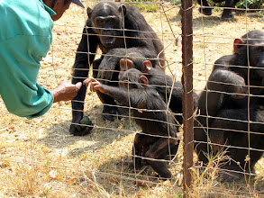 Photo: Chimps in Chimfunshi Wildlife Orphanage