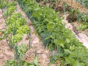 Photo: cresce la verdura nell'orto sinergico