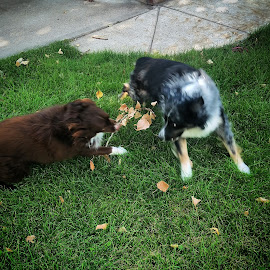 by Darla Grumbles - Animals - Dogs Playing (  )