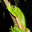 Giant Monkey Frog, Giant Leaf Frog, Waxy-monkey Treefrog