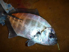 Photo: 出ましたー! この時期、よく釣れ出す「ギンテツ!」 正式名称は「オキアジ」です! よく引く魚で、お刺身、煮付けで美味しく 召し上がれます!