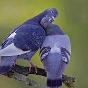 Приметы голуби