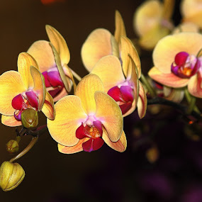 yellow orchid by Nguyen Huu Hung - Nature Up Close Flowers - 2011-2013
