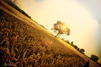 Photo: Waiting For The Harvest  This is one from the archives, I remember having a very balmy summer in the UK this year, one of those where you simply enjoyed being out and about, taking in the warmth and the sights. There just is something about a field full of ripened wheat, you just have to walk through it as you pass your fingers over the ears. I also remember coming back a few weeks later to see this field being harvested, I was sorry to see the wheat go but I spent a good few hours just watching the farmers at work, one of the most relaxing days I have spent.