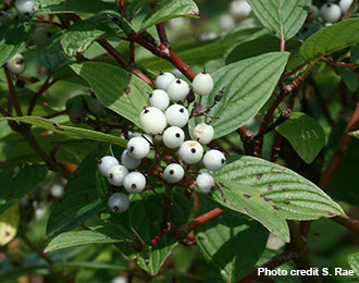 This image shows the white berries of an American Dogwood.