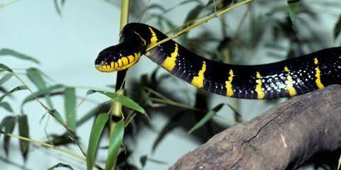 Image result for mangrove snake