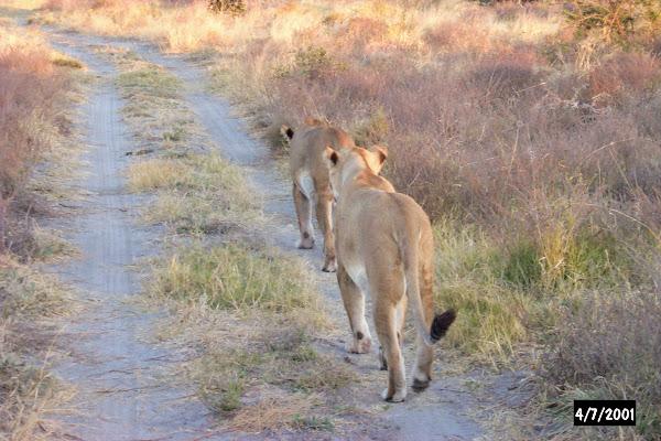 Lions at Machaba