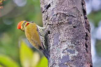 Photo: White-browed Woodpecker