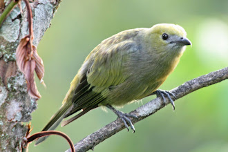Photo: Palm Tanager
