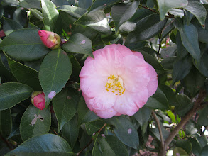 Photo: Camellia 'April Remembered'-Asian Valley