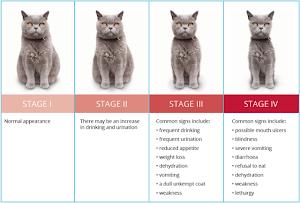 Feline kidney disease stages
