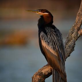 African Darter by Hannes van Rooyen - Animals Birds (  )