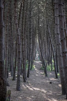sentiero in pineta di PepCap