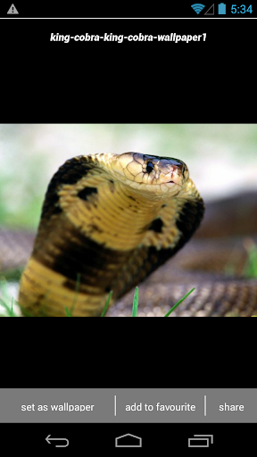 King Cobra Snake Wallpapers HD screenshot 5